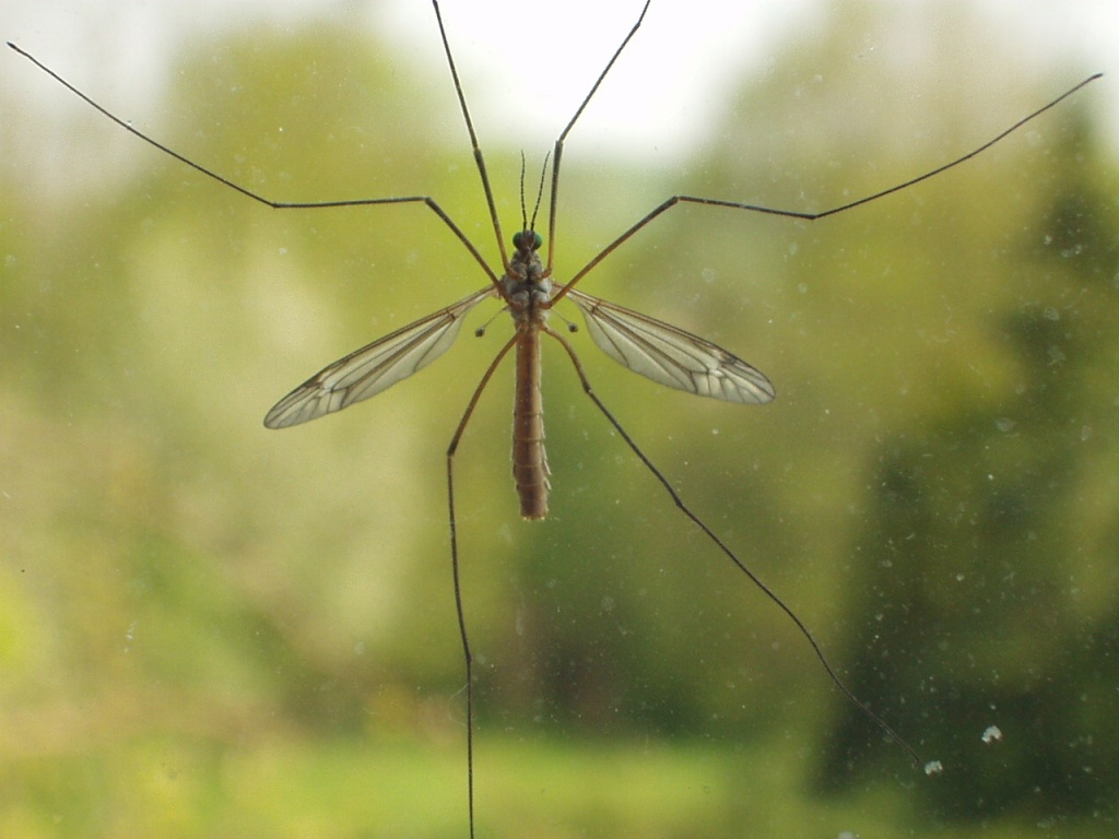 european-crane-fly.jpg